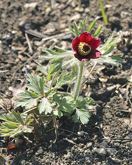 直径3cmほどの花が咲く=3月24日 撮影