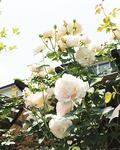 この時期はバラが満開に咲いている