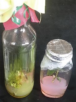 無菌状態の中に寒天を入れ植物を植え付け育てる