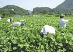 収穫量は県全体で年間約50トン