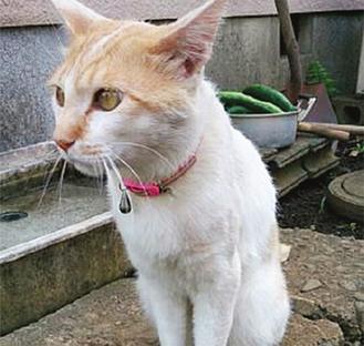 捜索が続く迷い猫「たま」