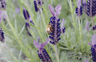 ミツバチが花を飛び交う