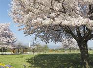 今年の桜も美しく
