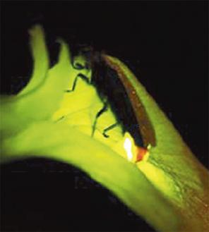 幻想的な光を放つホタル