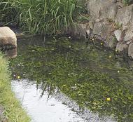 「河骨(コウホネ)」市内で開花確認