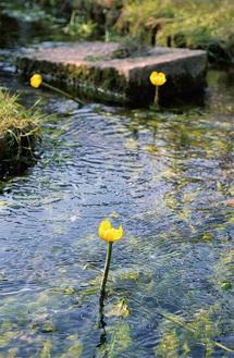 コウホネが咲いている「産川せせらぎ公園」