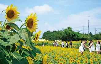 約10万本のひまわりが咲き誇る栗原会場=写真は昨年。