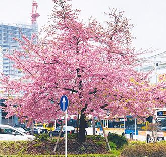 海老名駅前の河津桜・3月6日撮影