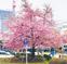 春の訪れ告げる河津桜