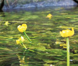 直径5cmほどの黄色いコウホネ(6月8日撮影)
