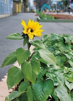 1月下旬に花を咲かせたひまわり(さがみ野)