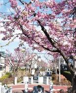 さくら百華の道に春
