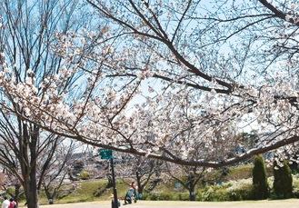 園内のソメイヨシノは週末に満開になりそう =3月25日撮影