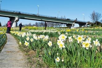 相模川の河川敷で見頃を迎えている西洋スイセン=3月24日撮影