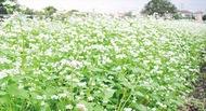 純白ソバの花