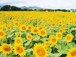 四ツ谷のひまわり畑(昨年10月6日撮影)