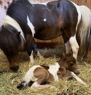 母馬のチョコ・エビーと仔馬=7日・海老名市提供