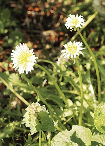 白いタンポポが開花