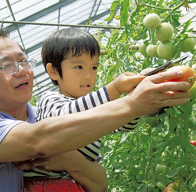 食べ頃のトマトを収穫