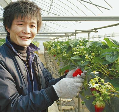 「県内一」のイチゴが最盛期