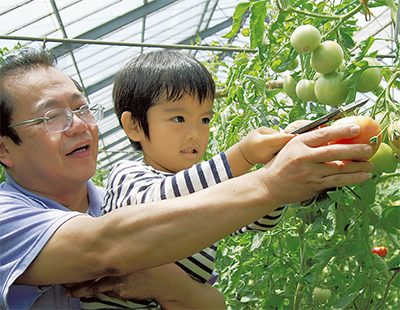 食べ頃トマトを収穫
