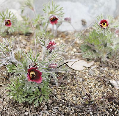 幻の山野草、開花