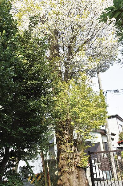 ピンク色に染まるヤマザクラ(3月29日撮影)