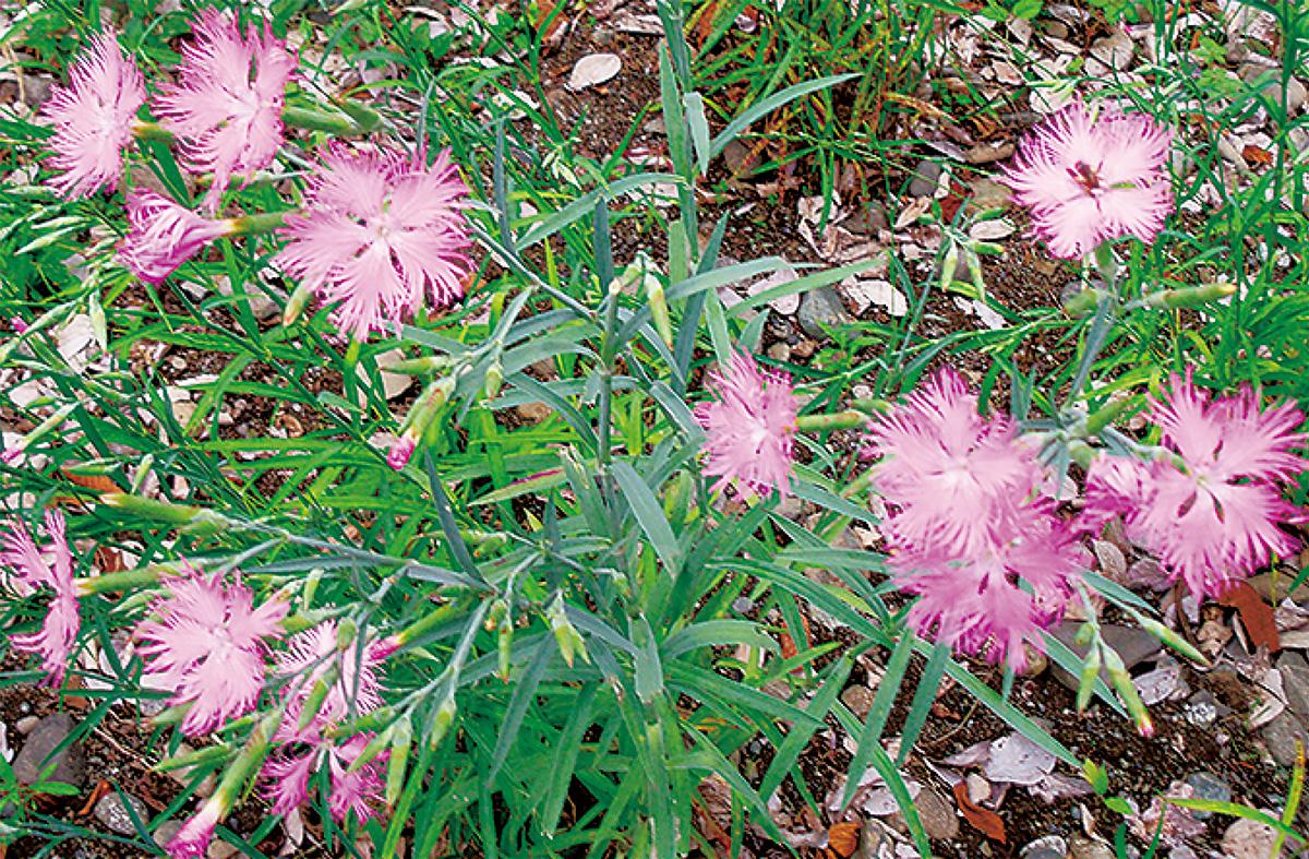 カワラナデシコが開花