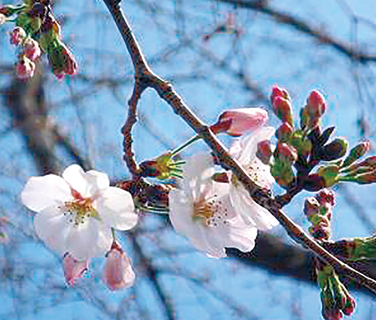 桜咲き誇り春爛漫