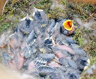 孵化が確認された8羽のヒナ