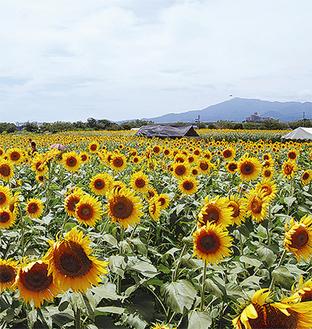 現在、市内のロケの多くは、ひまわり畑で行われている
