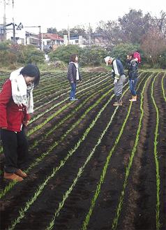 まだ小さな苗を足で踏むことで、寒さや乾燥に強く育つという