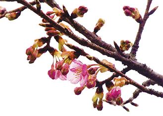 控えめに花を開いた河津桜(2月17日撮影)