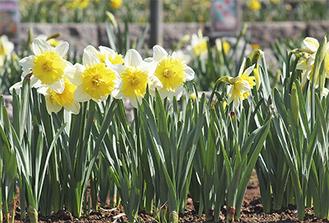 白と黄色の花を咲かせた※3月17日撮影