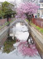 水面に映る桃の花