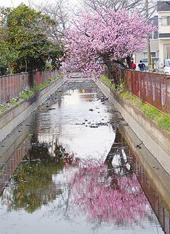 濃いピンク色が住宅街に異彩を放っていた(23日撮影)