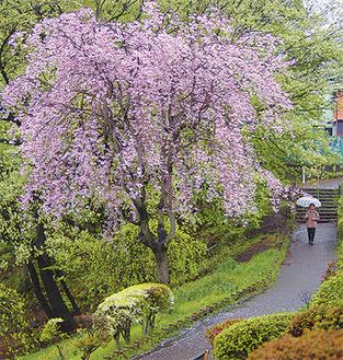 放物線を描くように伸びた枝には、八重の花が所せましと咲いていた※4月14日撮影