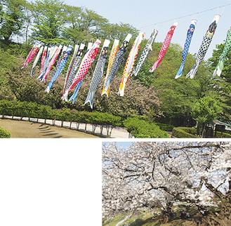 昨年の鯉のぼりの様子。約30匹を吊るしていた(写真上)。老齢化により、支柱として利用できなくなった2本の桜(同右/今年3月に撮影)