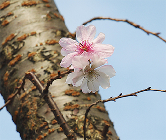 仲よし小道の南端近くで、薄紅色の花を咲かせた十月桜。※20日撮影