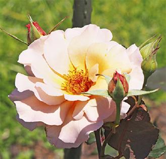 700本のバラが咲く(13日撮影)