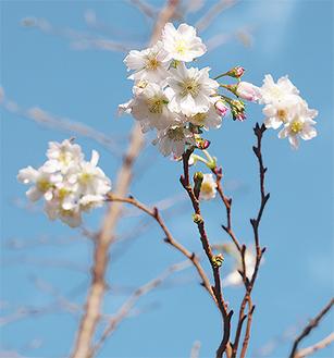 花を咲かせる十月桜(10月18日撮影)