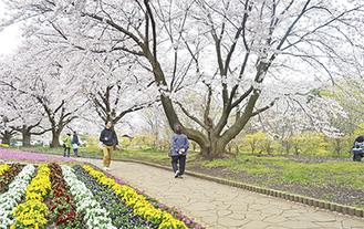 かにが沢公園の桜=10日撮影