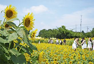 約10万本のひまわりが咲いた栗原会場