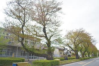老朽化し植替えが予定されている桜=東原コミセン近く