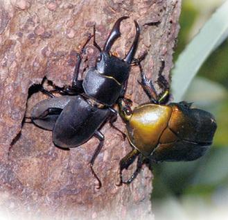 甲虫たちの食堂はクヌギの木