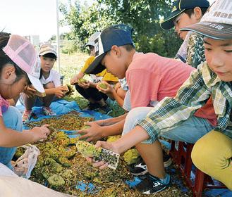ひまわりの種を収穫する児童