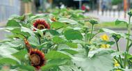 赤いヒマワリ今年も開花
