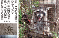 アライグマ捕獲年々増加