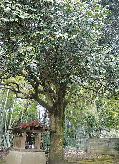 歴史刻むツバキの古木