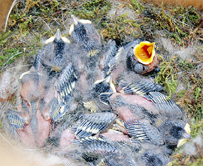 シジュウカラのヒナが孵化
